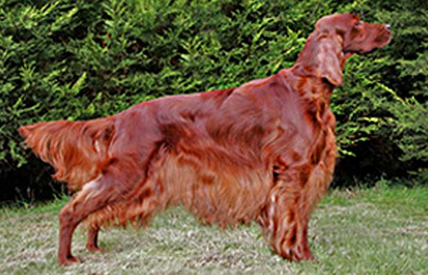 Native Irish Breed - The Irish Kennel Club
