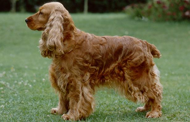 Breed Details - The Irish Kennel Club