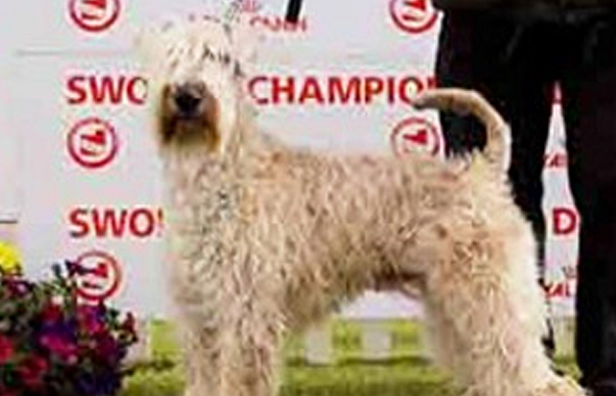 Native Irish Breed The Irish Kennel Club